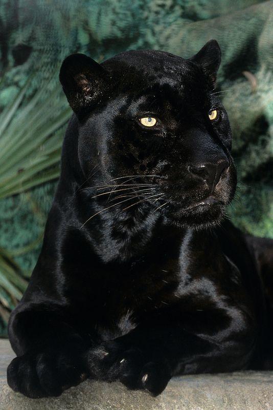 RIP Orson. Black jaguar at San Diego Zoo.