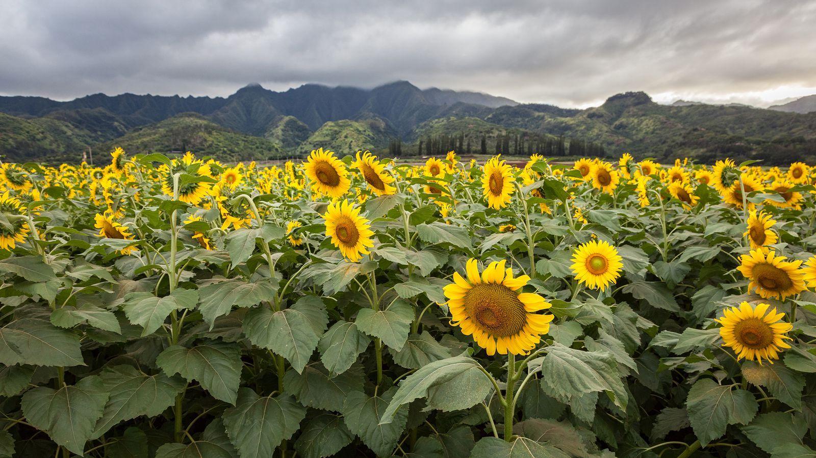 The 31 Prettiest Sunflower Fields Across the U S    Sunflowers