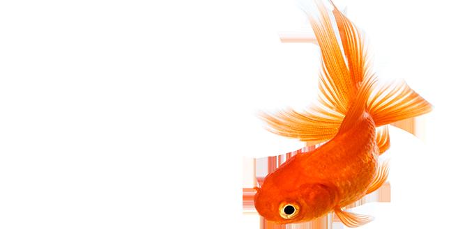 657x329 Image Goldfish New 1447166688311 Tcm1539 259108 Png 657 329 Pixels