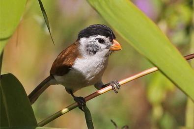 Black-headed Parrotbill (János Oláh)