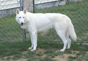 White German Shepherd Mix Ed With Wolf Lol So Beautiful