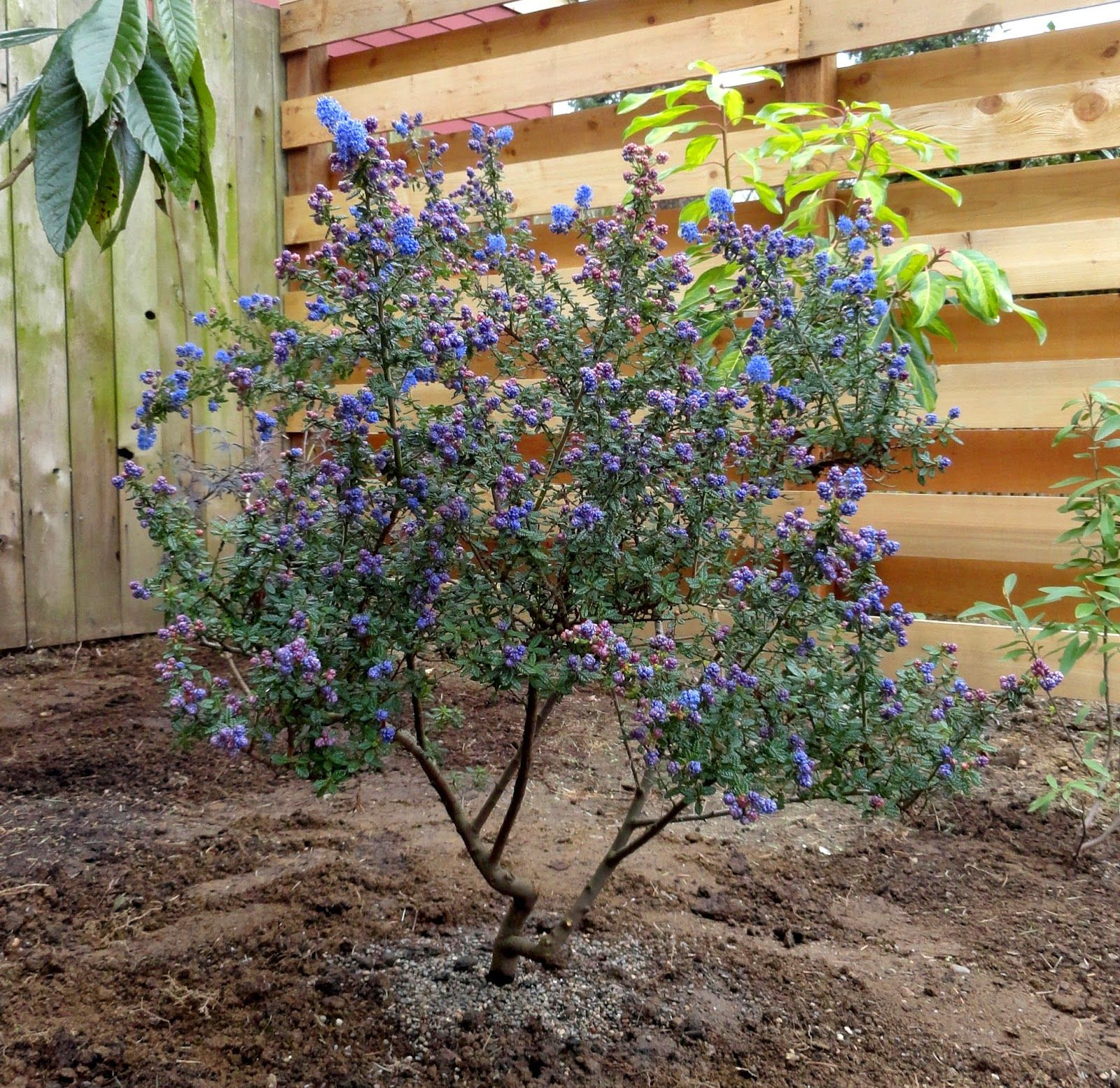 Ceanothus 39 dark star 39 heat and drought tolerant shrub to for Drought tolerant trees