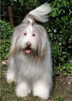 Bearded Collie Puppies Breeders Collies With Images Bearded Collie Puppies Dog Bearding Bearded Collie