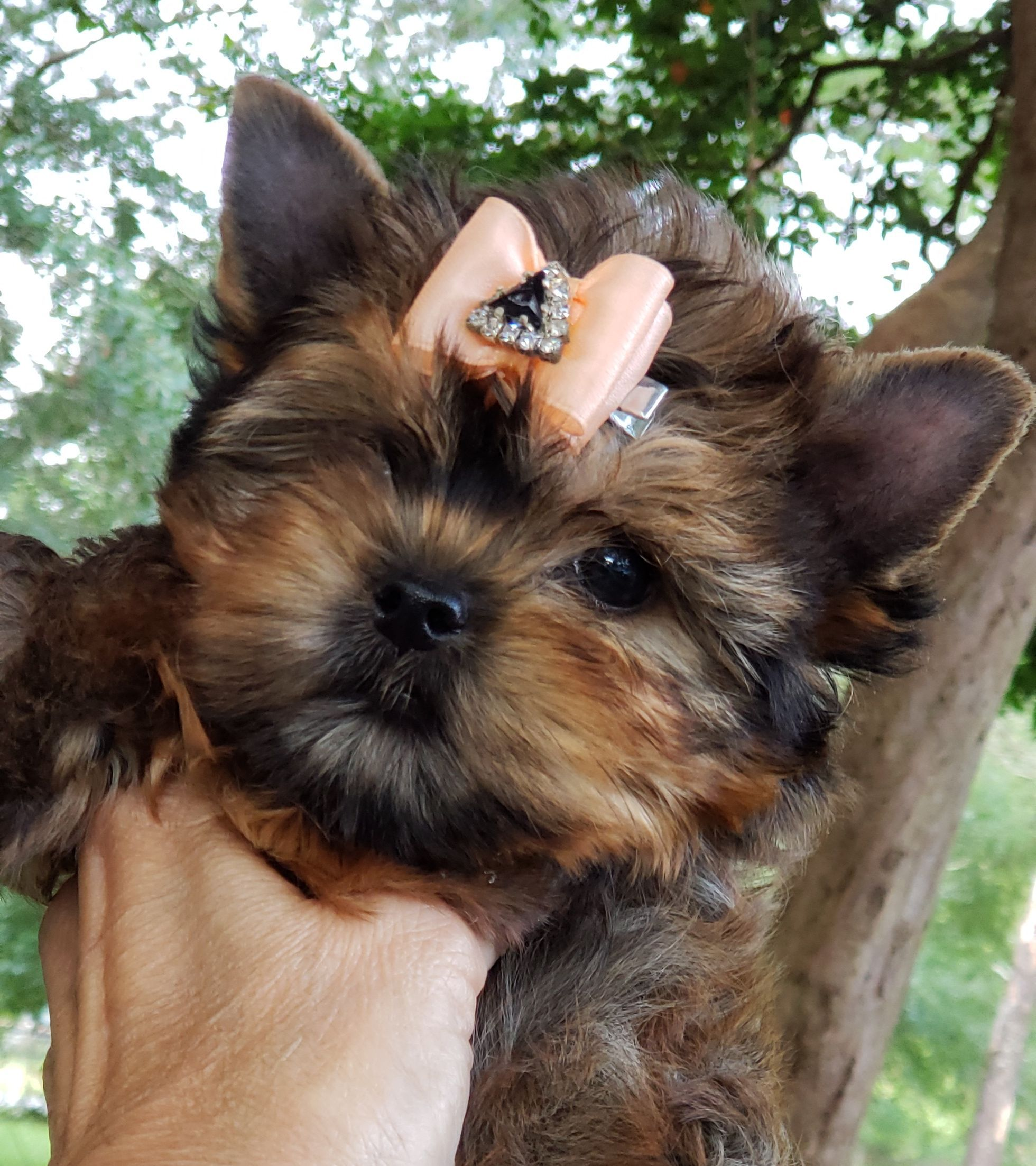 12 Week Old Female Exotic Sable Yorkshire Terrier Puppy For Sale