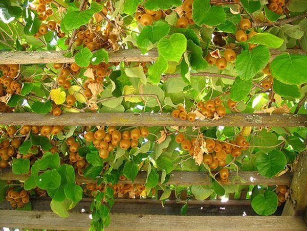 19 Best Climbing Plants For Pergolas And Trellises 400 x 300