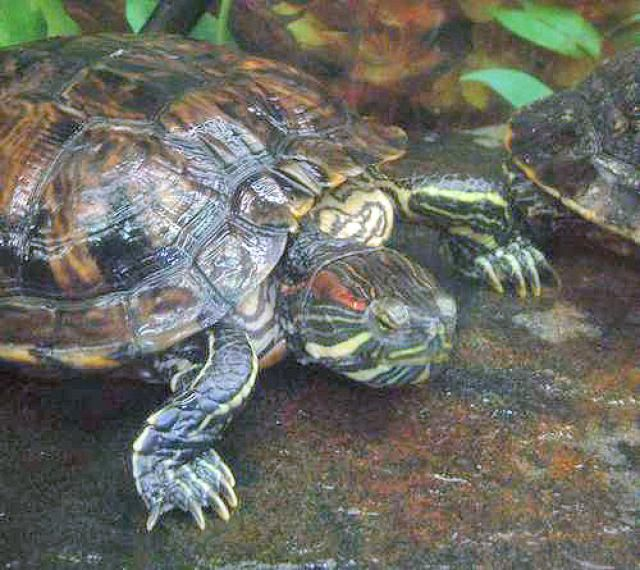 Encouraging Red Eared Sliders To Bask Slider Turtle Red Eared Slider Turtle Red Eared Slider