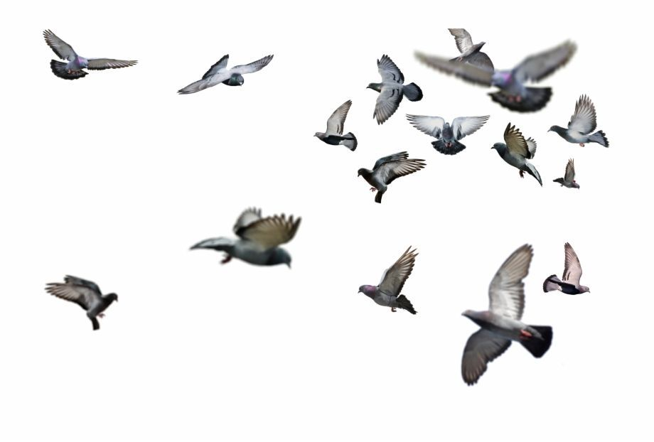 Flying Bird Png Flying Birds Png Hd Is Found On Pngtube Download It Free And Birds Flying Flying Bird Drawing Bird