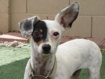 Adopt Bonnie On Dog Adoption Terrier Dogs Jack Russell Terrier