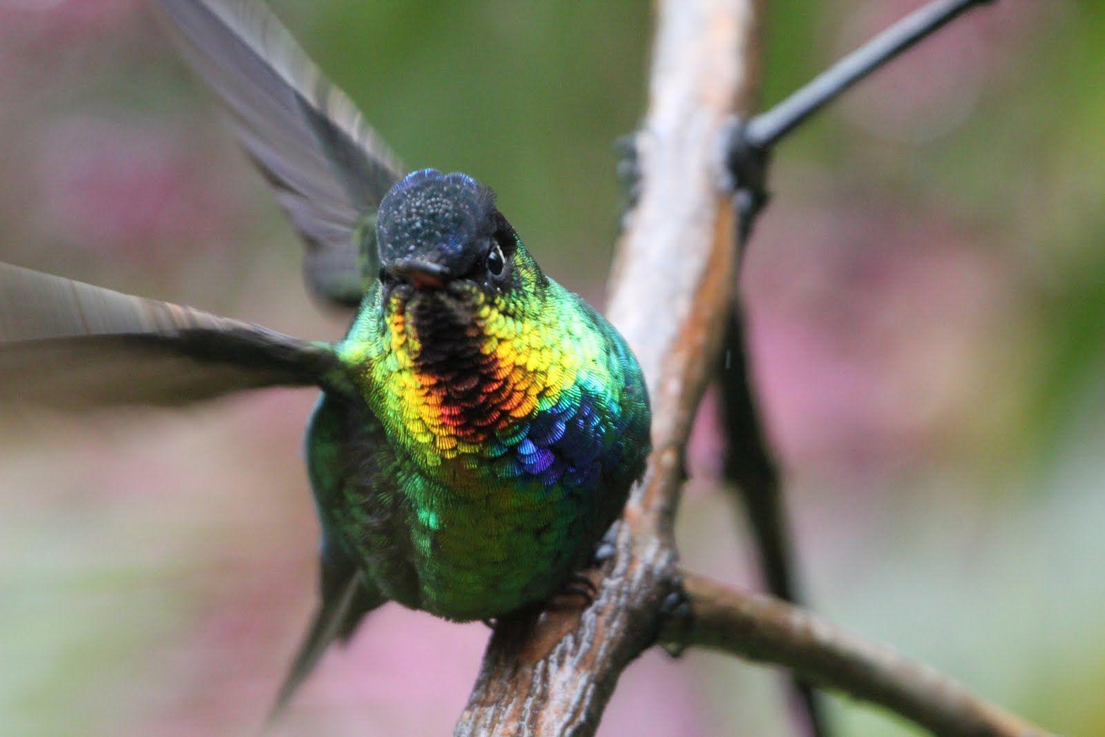 Iridescent Hummingbird, World birds, Birds