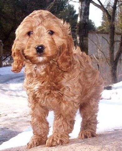 Cocker Spaniel + Poodle mix For Bobby Cockapoo puppies
