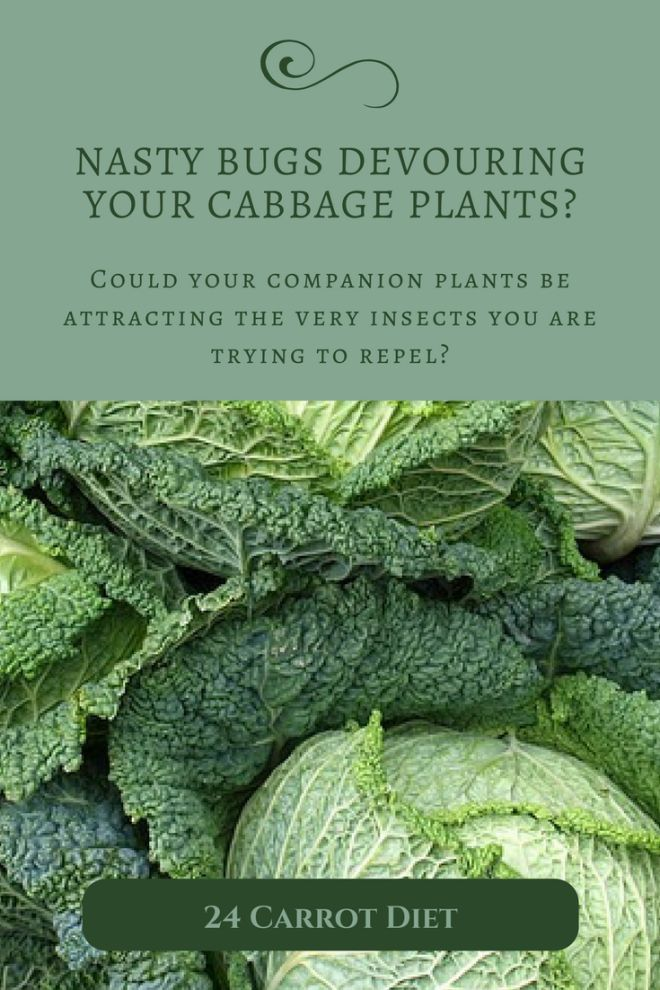 Could a Popular Companion Plant be Attracting Yard Pests to Your Cabbage Patch? | Garden pest control DIY | Organic vegetable garden | Heirloom gardening
