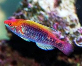 Reef Safe Wrasse Fish Cleaner Wrasse And Other Reef Safe Wrasse Species Saltwater Aquarium Big Fish Tanks Marine Fish