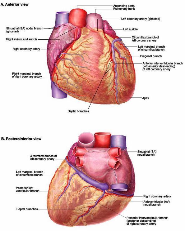 Right Coronary Artery Anatomy | Plate 4-22 Coronary Arteries ...