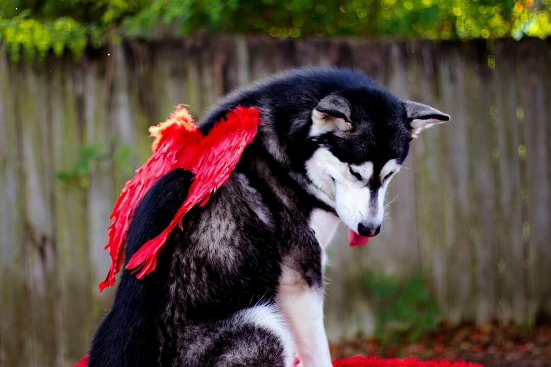 #alaskanmalamute #tonka #cupid #ValentinesDay #love #alaskan #malamute