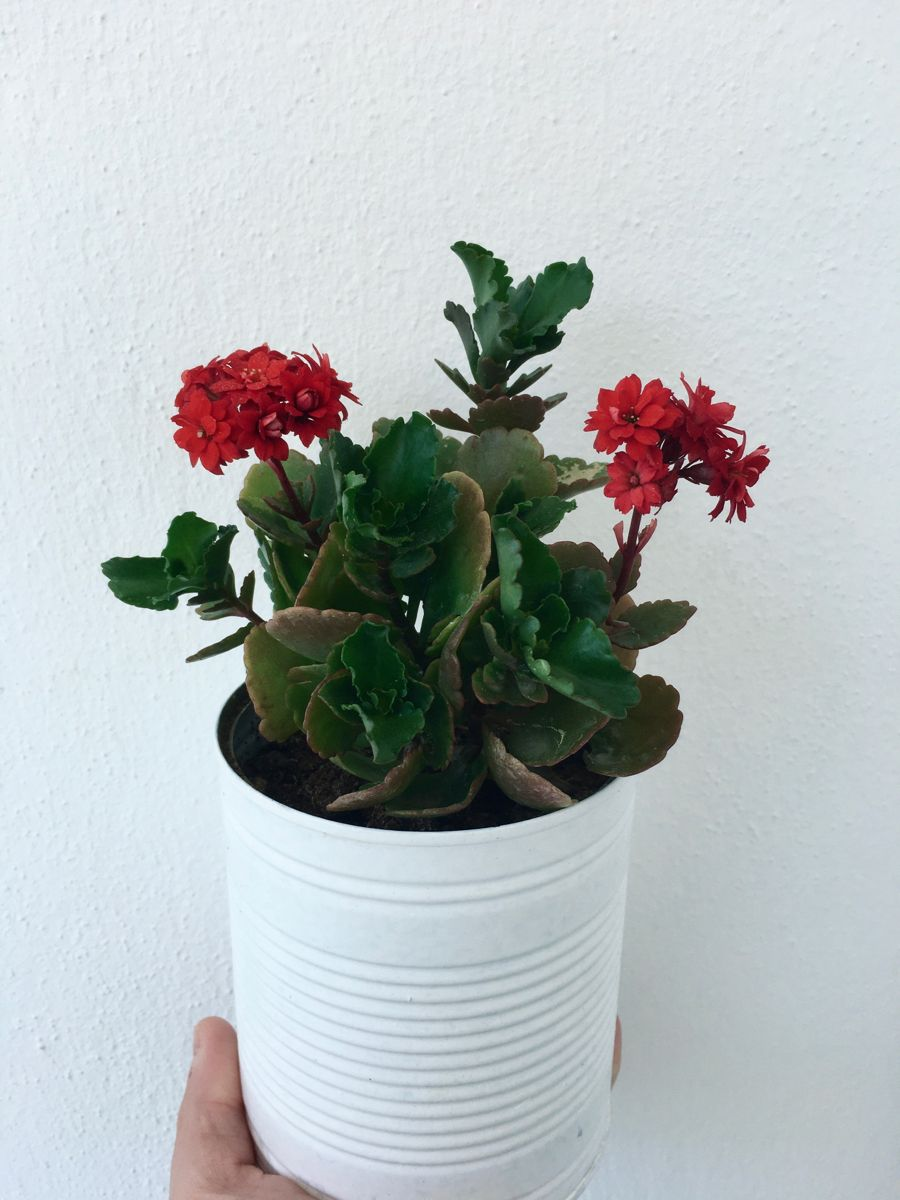 #kalanchoe #gardening #gardenplanting #redflower #succulentlove #kalanchoetubiflora