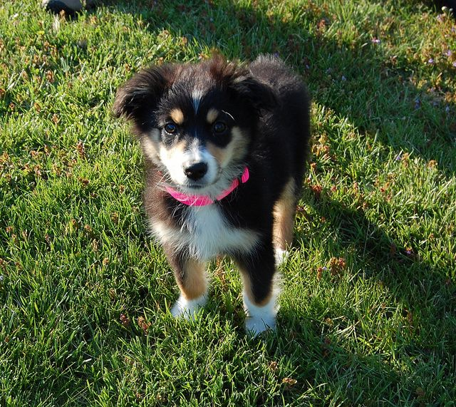 Olive Our New Australian Shepherd 12 Weeks Old Cute Baby Animals Cute Animals Baby Animals