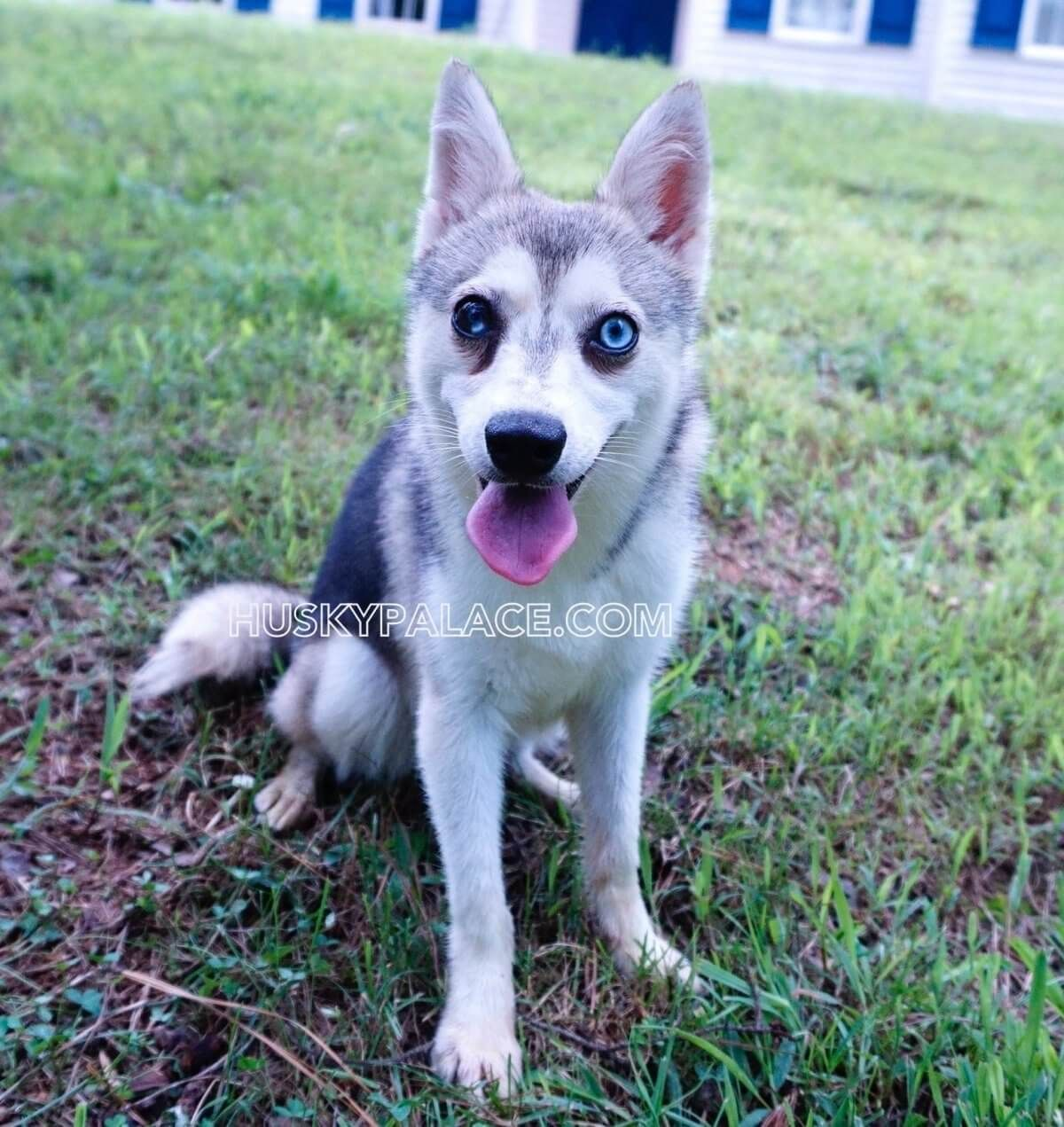 Alaskan Klee Kai Puppies For Sale Blue Eye Akks Puppies