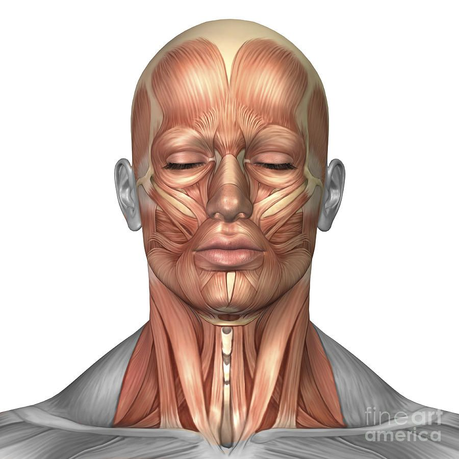 Anatomy Of Human Face And Neck Muscles Digital Art Anatomy