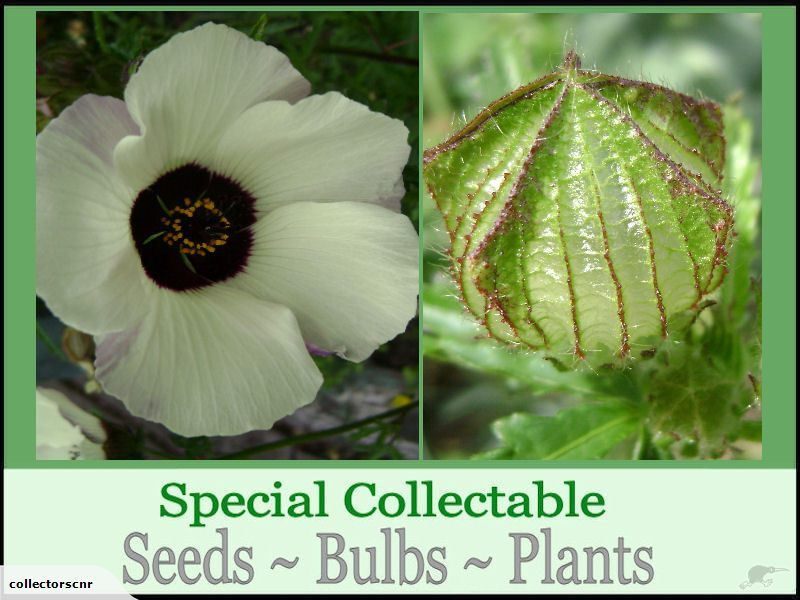 *** click my username for heaps of top quality, rare and unusual plants, bulb &  seed bargains ****    This listing is for 1 packet of Seed.