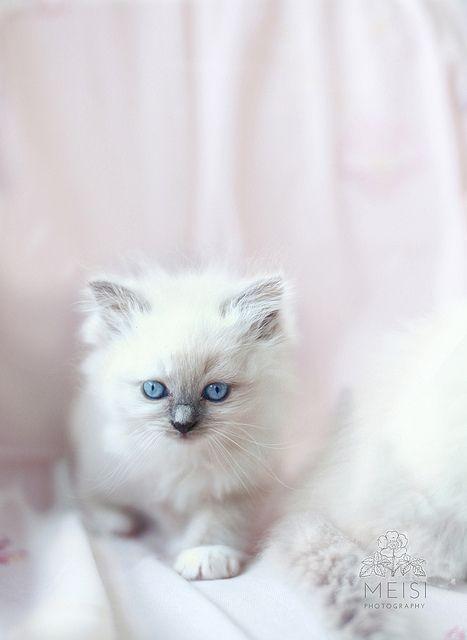 Gabytaangeles Via Gabytaangeles Ragdoll Cat Kittens And Puppies Cats