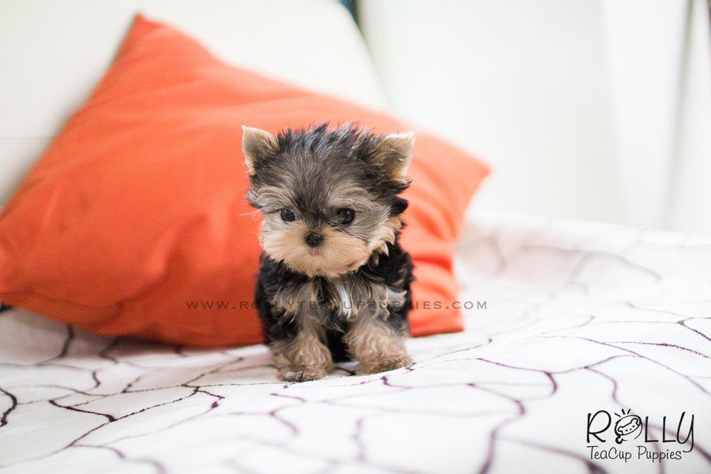 Carter Yorkie M Teacup Puppies Yorkie Puppies