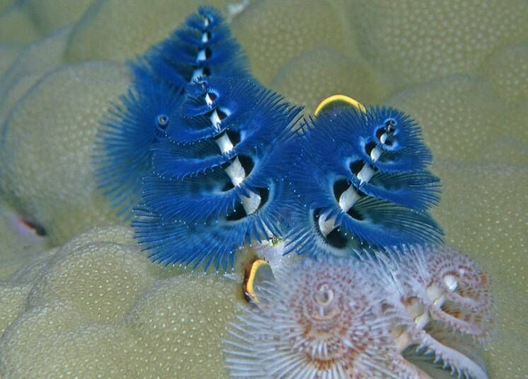 Blue Christmas Tree Worm Blue Christmas Tree Ocean Projects Blue Christmas