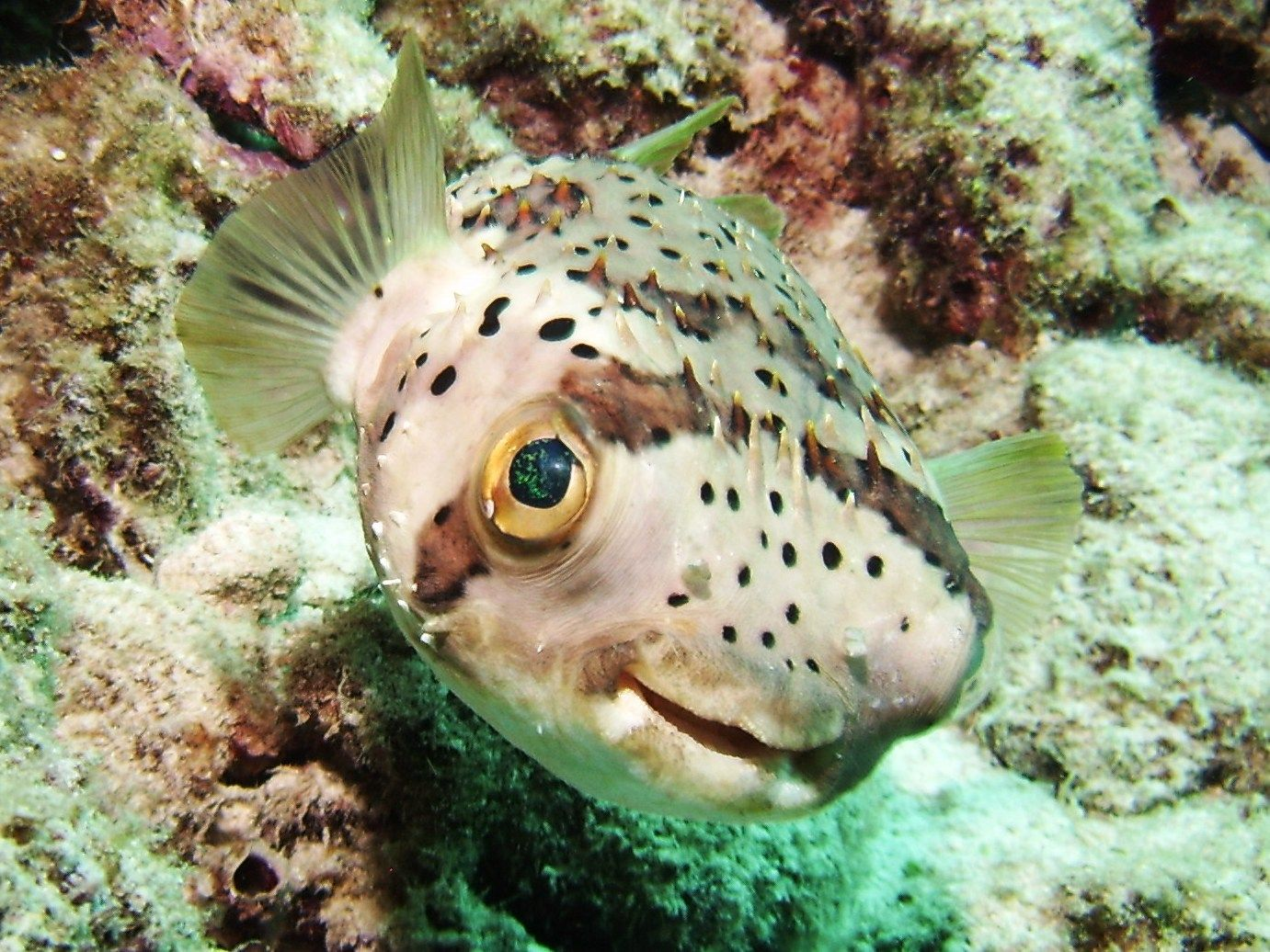 Hello I Am Awesome Porcupine Puffer Fish Happy Animals Animals Fish Pet