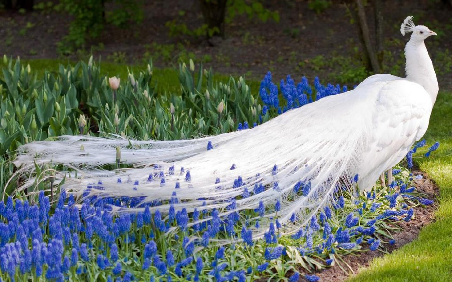 Image result for white peacock wallpaper hd