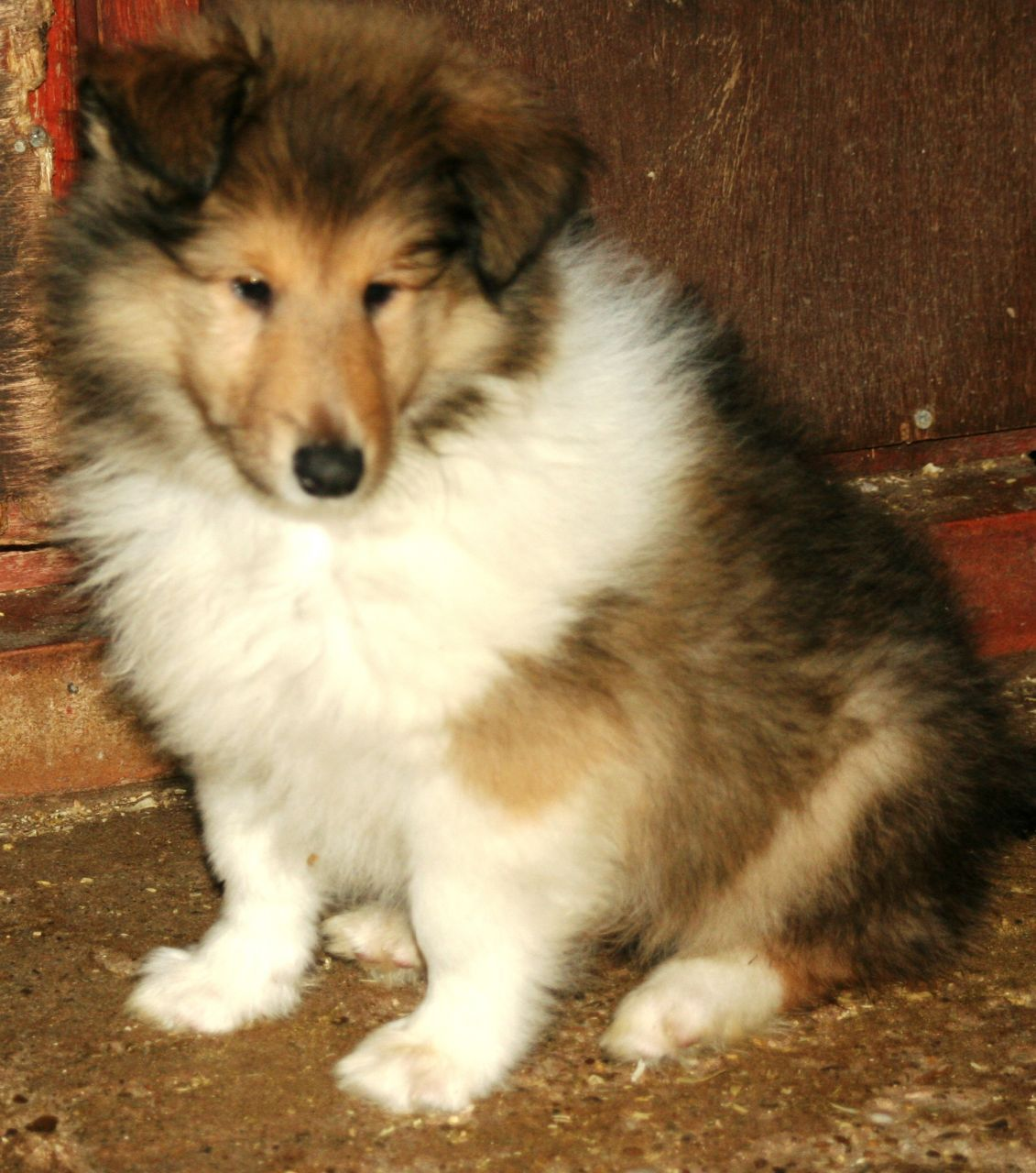 Rough Collie Puppy Rough Collie Puppy Collie Puppies Rough Collie