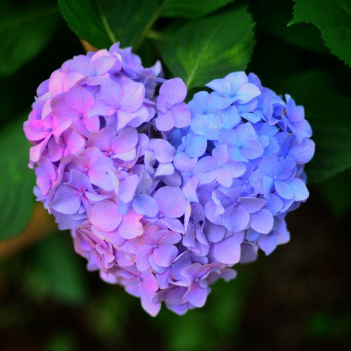 京都宇治の三室戸寺 Another hydrangea shaped as a heart 💜 💙💜…