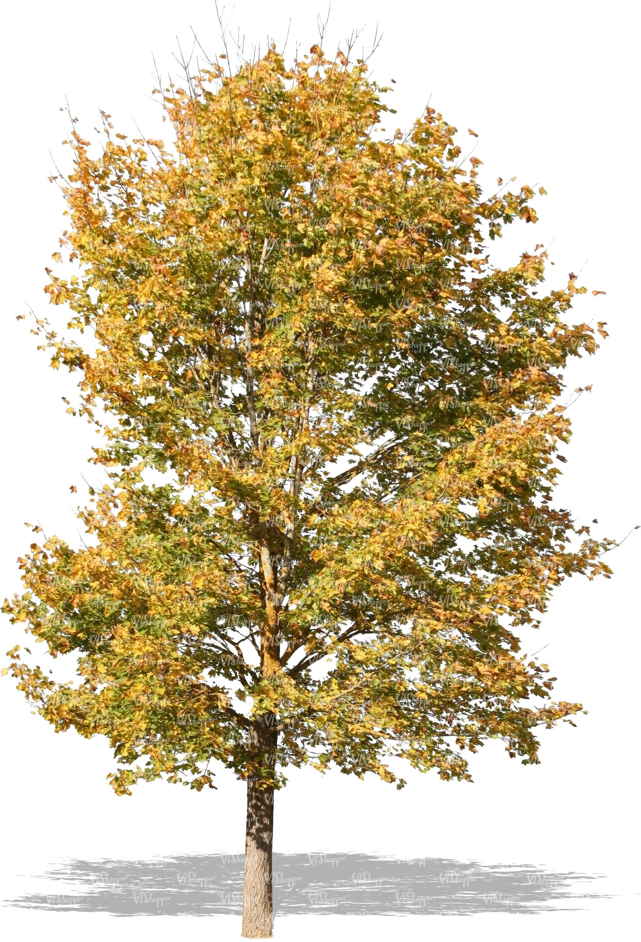 Pl591 | material | Pinterest | Autumn trees, Plants and ...