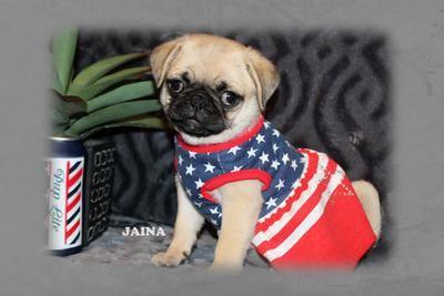 Pug Puppy For Sale Near Mcallen Edinburg Texas 57fef836 E8d1