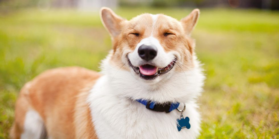 These Smiling Dogs Will Brighten Your Day Corgi Cute Dog