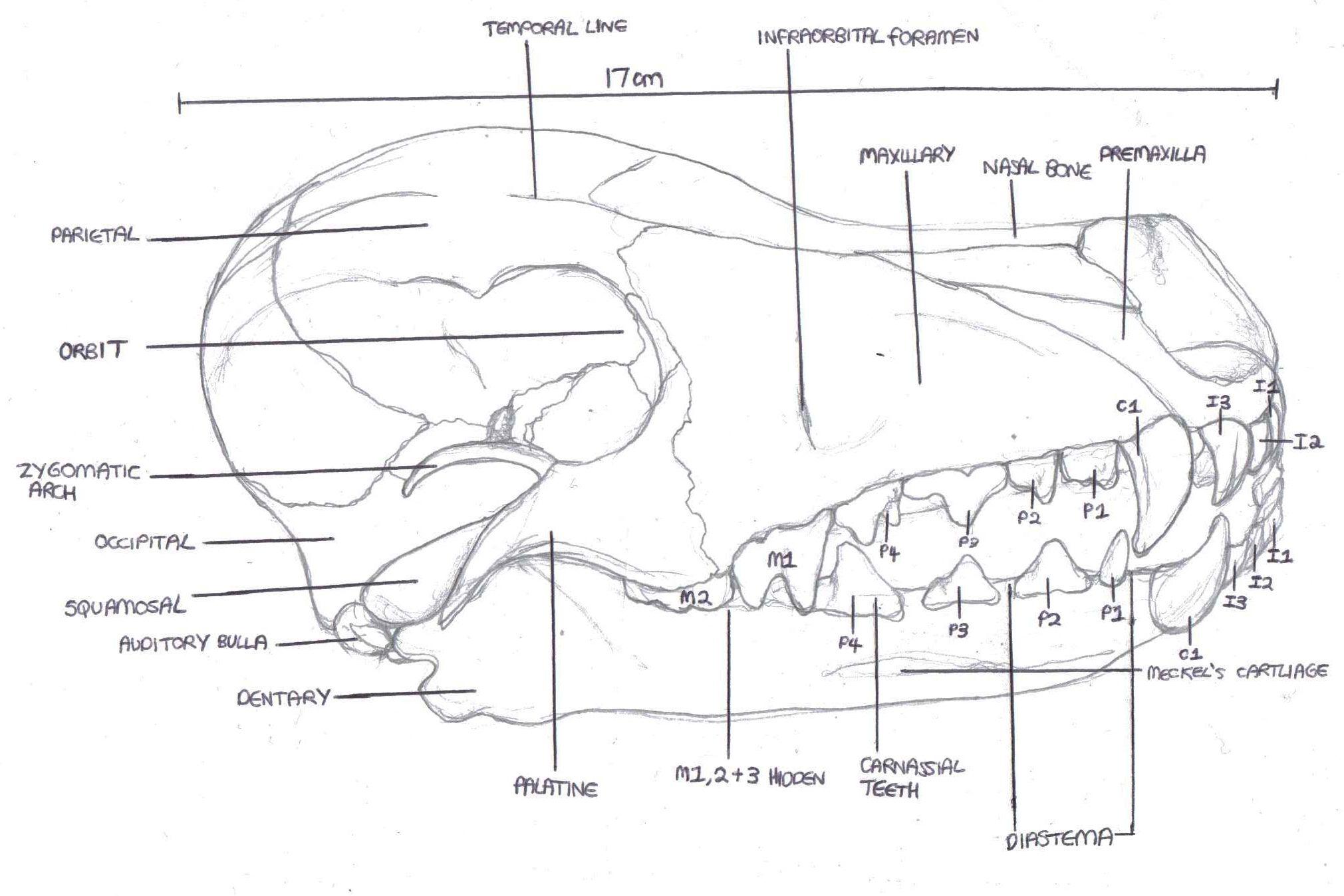 skeletal anatomy of a dog specimen