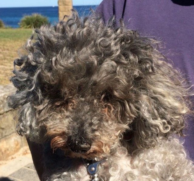 Spoodle Puppies Puppies For Sale Sydney New South Wales Poodle