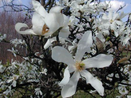 The state flower of louisiana is the magnolia in the summer the the state flower of louisiana is the magnolia in the summer the states thousands of magnolia trees blossom the magnolia flower has an especially rich mightylinksfo Images