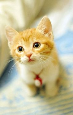 Adorable Yellow Kitten Picture Click The Picture To See More Such