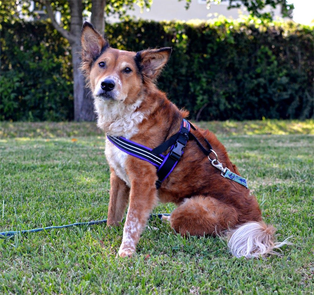 Product Review Comfortflex Sport Harness Dog Harness Dog Gear