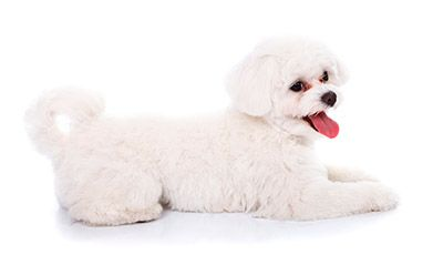 Image Result For Bichon Frise Lying Down Bichon Frise Puppy