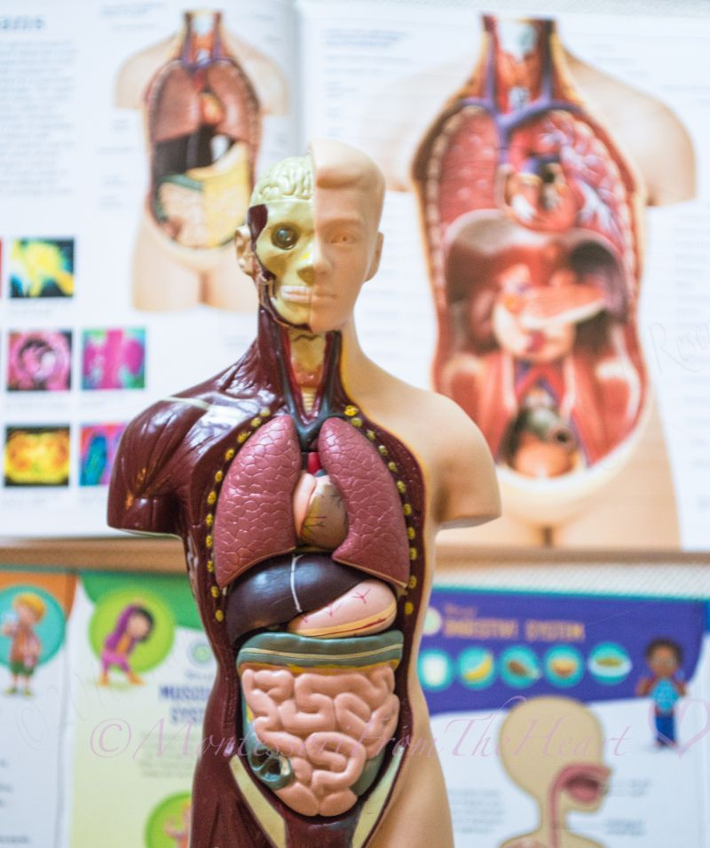 Inside Of The Body Anatomy Unit Study Kids Science Science