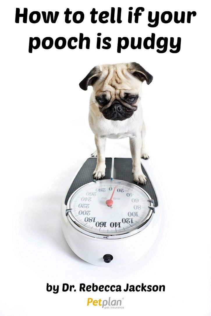 How to tell if your dog is overweight Pet insurance