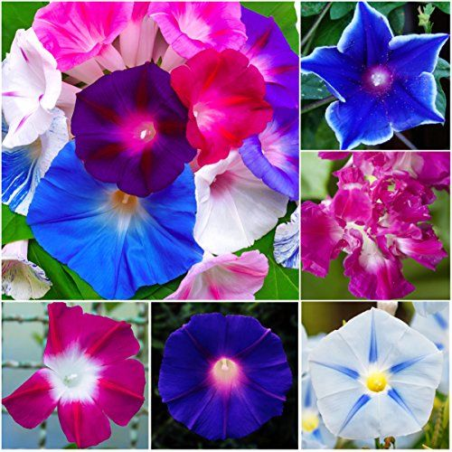 Pin by Sherry Allen on Flowers/Plants | Morning glory flowers
