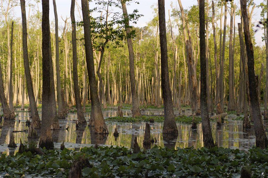 Blackwell Swamp Area Of The Wheeler Wildlife Refuge Alabama With