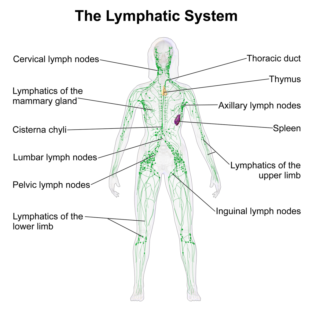 Lymphatic System Diagram In Neck