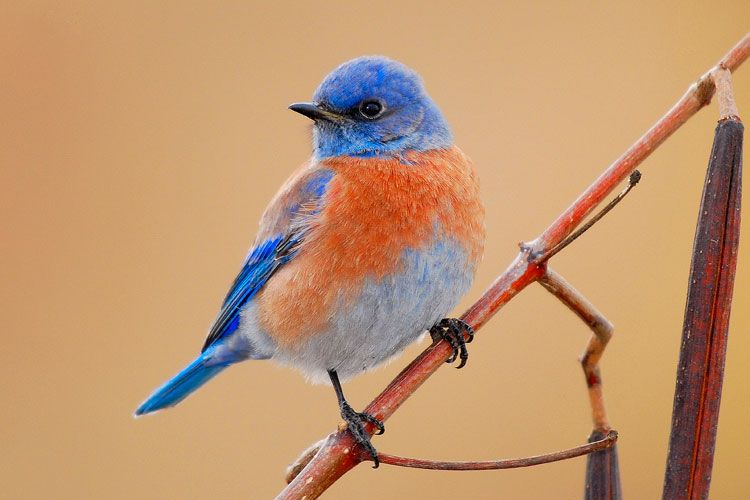 Bluebird - garden insectivore that saved my tomato plants last year