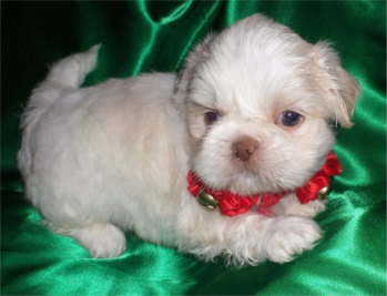 White Cream Liver Shih Tzu Baby From Glory Ridge Shih Tzu Dog Coats Shih Tzu Dogs And Puppies