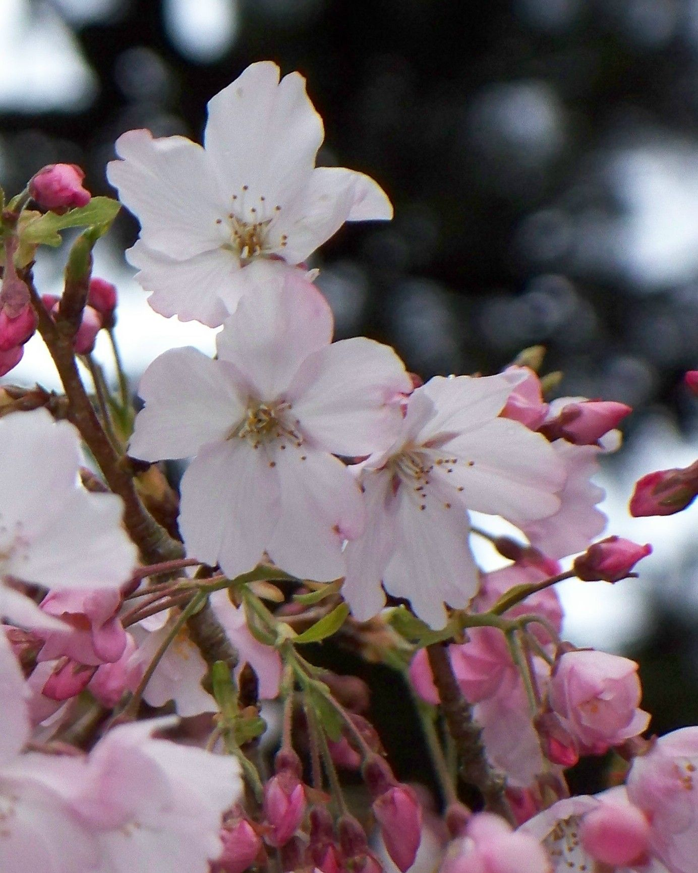 Spring Cherry Blossoms: Peak Bloom Cherry Tree Flowers