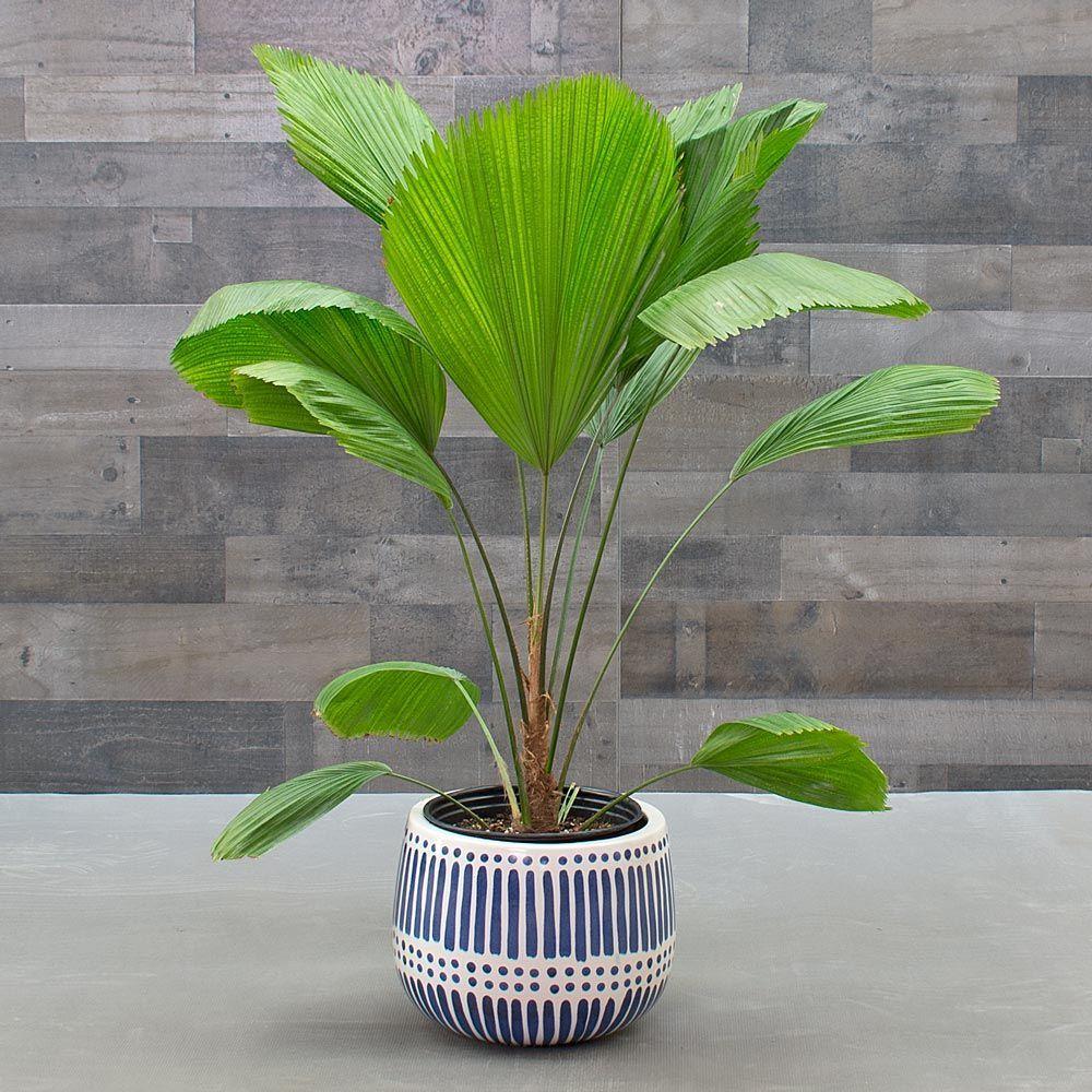 Ruffled Fan Palm Plants Fan Palm Palm Plant