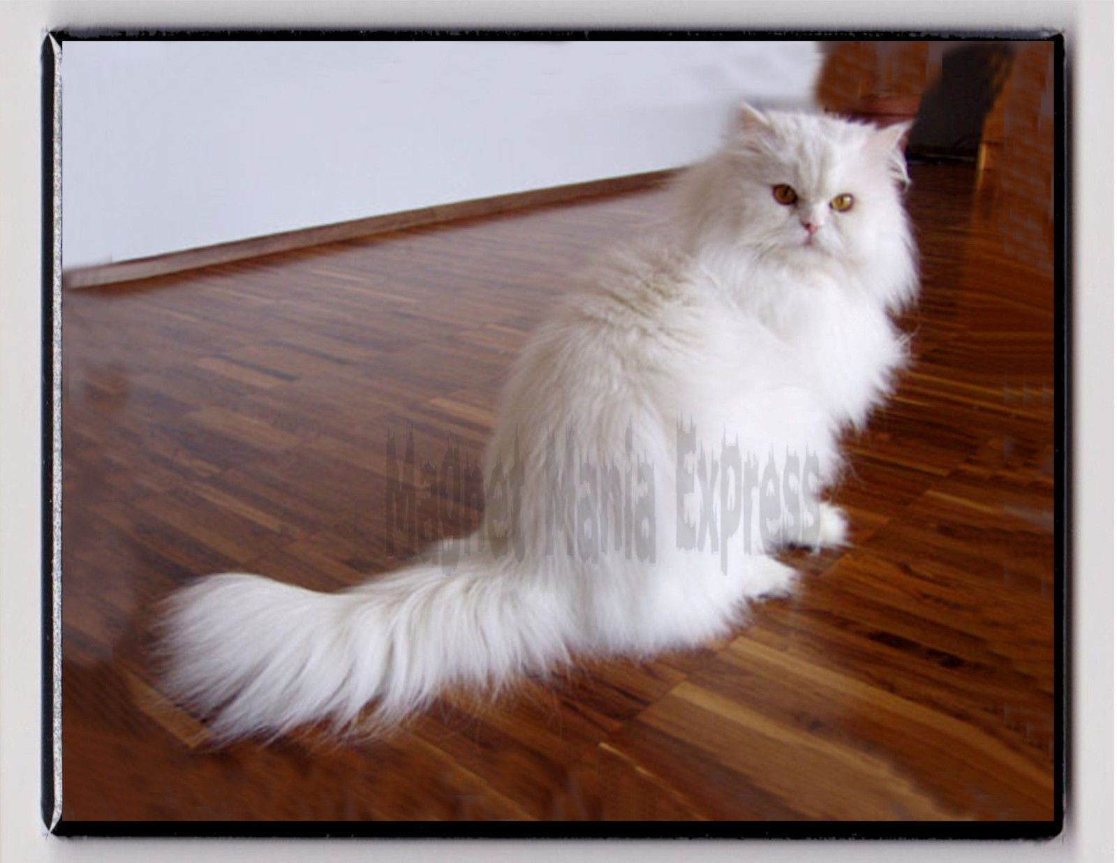 Metal Magnet White Persian Cat Wood Floor Cats Magnet X Persian Cat White Most Popular Cat Breeds Persian Cats For Sale