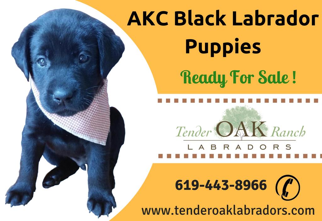 Akc Black Labrador Puppies For Sale In San Diego Black Labrador